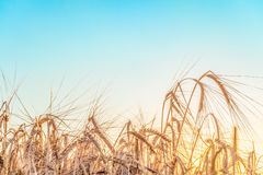 Agricultural background with ripe rye spikelets Royalty Free Stock Photography