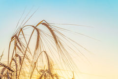Agricultural background with ripe rye spikelets Royalty Free Stock Image