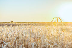 Agricultural background with ripe rye spikelets Royalty Free Stock Photo
