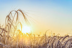 Agricultural background with ripe rye spikelets Stock Photos