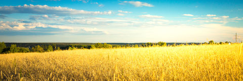 Agricultural background with ripe spikelets of rye. Stock Images
