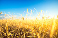 Agricultural background with ripe spikelets of rye. Stock Image