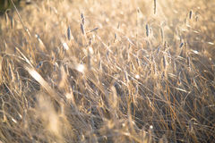 Agricultural background with ripe spikelets of rye. Royalty Free Stock Photo