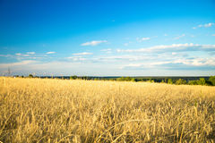 Agricultural background with ripe spikelets of rye. Stock Photos