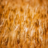 Agricultural background of ripening wheat Royalty Free Stock Photos