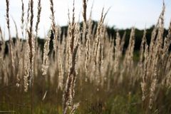 An agricultural background with singing spikelets of rye in the rays of the evening sun at sunset. A beautiful evening in a rye field Royalty Free Stock Photo