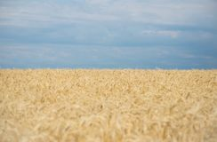 Agricultural background at the summer time. Field and sky. Agricultural background at the summer time Royalty Free Stock Images