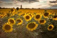 Agricultural background with sunflowers. Farming landscape with field and beautiful sky, selective focus Stock Photos