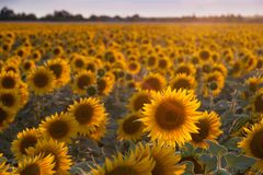 Agricultural background with sunflowers. Farming landscape with field and beautiful sky, selective focus Stock Photography