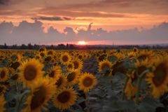 Agricultural background with sunflowers. Farming landscape with field and beautiful sky, selective focus Royalty Free Stock Photos