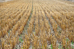 Agricultural beige field after harvest. The rows of mown hay stalks in perspective Stock Photos