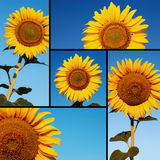 Agricultural collage composed of sunflowers Royalty Free Stock Photo