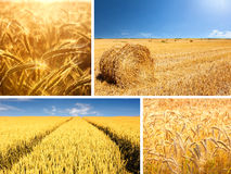 Agricultural collage composed of wheat fields. Collage composed of wheat fields in various stages of processing royalty free stock photos