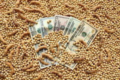 Agricultural concept, soybean and dollar money Stock Images