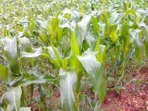 Corns tree. Plants is growing up in season raining Royalty Free Stock Photos