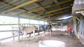 Agricultural Cow Farm at Phattalung province of southern Thailand. stock footage