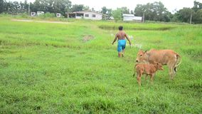 Agricultural Cow Farm at Phattalung province of southern Thailand. stock video