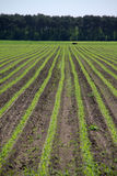 Agricultural crops. Stretching out to the horizon Royalty Free Stock Photo