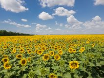 Agricultural cultivation of sunflower in the field. Russia. Fragment of a beautiful field with sunflower in Russia Stock Images