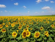Agricultural cultivation of sunflower in the field. Russia. Fragment of a beautiful field with sunflower in Russia Royalty Free Stock Photos