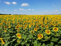 Agricultural cultivation of sunflower in the field. Russia. Fragment of a beautiful field with sunflower in Russia Royalty Free Stock Images