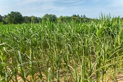 Agricultural damage desiccation in corn plants. Agricultural damage drought in corn plants that dry out in the sun stock photo