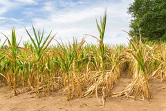 Agricultural damage drought in corn plants. That dry out in the sun royalty free stock photo
