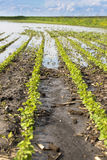 Agricultural disaster, field of flooded soybean crops Stock Image