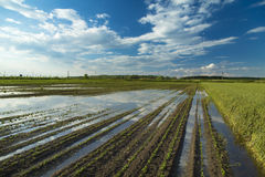 Agricultural disaster, field of flooded soybean crops Royalty Free Stock Photo