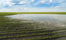 Agricultural disaster, flooded soybean crops Stock Photo