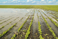 Agricultural disaster, flooded soybean. Royalty Free Stock Image