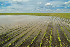 Agricultural disaster, flooded soybean Royalty Free Stock Images