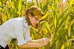 Agricultural engineer. Woman agricultural engineer checking the corn crop growth Royalty Free Stock Images