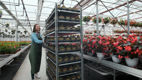 Agricultural Engineer Walks Through Industrial Greenhouse with shelving young plants. Agriculture or science industry. Agricultural Engineer Walks Through stock footage