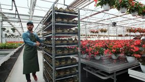 Agricultural Engineer Walks Through Industrial Greenhouse with shelving young plants. Agriculture or science industry. stock footage
