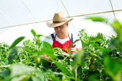 Agricultural engineer working in the greenhouse. Royalty Free Stock Photography