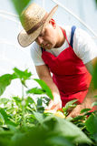Agricultural engineer working in the greenhouse. Royalty Free Stock Images