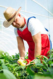 Agricultural engineer working in the greenhouse. Royalty Free Stock Photos