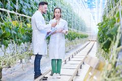 Agricultural Engineers Working in Plantation. Full length  portrait of two modern scientists studying selection of vegetables in greenhouse of agricultural Stock Images
