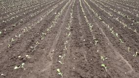 Agricultural farm for cultivation cabbage. young sprouts have risen on a huge field stock video