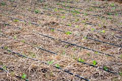 Young lettuce sprouts on a drip irrigation system royalty free stock image