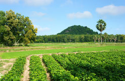 Agricultural farm,  Pachyrhizus field, palm tree, moutain Royalty Free Stock Photos
