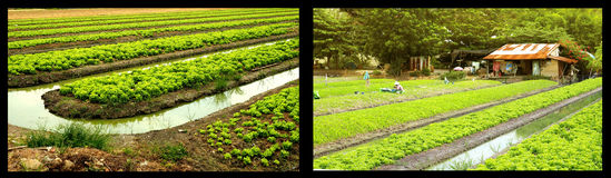Agricultural fertilizers organic vegetable garden. Or planting lettuce with a ditches around and font of her hut Stock Photos