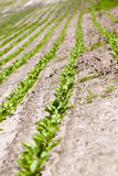 Agricultural field with beetroot Royalty Free Stock Image