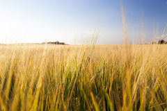 Agricultural field and blue sky. Agricultural field on which it grows wheat, which matured and turned yellow and ready for harvest. Photo taken closeup with a stock photography