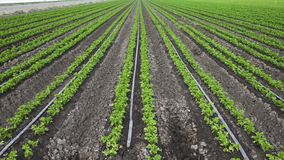 Agricultural field of celery plants. Celery plants in a row. organic, gardening, vegetables stock footage