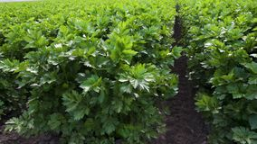 Agricultural field of celery plants.  Organic, gardening, vegetables, harvesting. Field of celery plants. Celery plants in a row stock video
