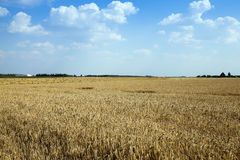 Agricultural field with cereal Royalty Free Stock Photos
