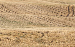 Agricultural field, cereals Royalty Free Stock Image