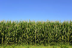 Agricultural field of corn plants, Zea Mays. Agricultural field of fresh green corn or maize plants, Zea Mays, growing in the summer sun used as silage for Stock Images